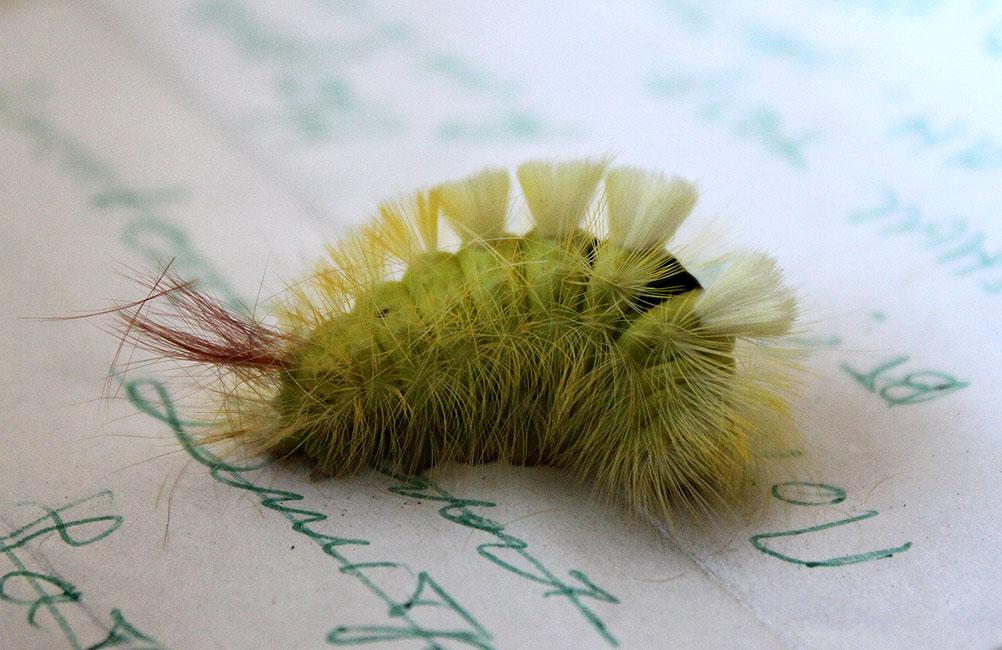 Dasychira pudibunda, семейство Волнянки – Lymantriidae