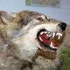 Улыбка волка