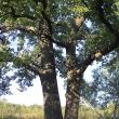 Мощь деревьев - Таруса. День в августе 2011 - Волошины.РФ