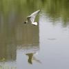 Чайка - Фотоохота в парке - Волошины.РФ