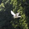 Чайка в воздухе - Фотоохота в парке - Волошины.РФ