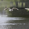 Чайка над водой - Фотоохота в парке - Волошины.РФ