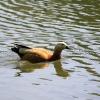 Оранжевая утка - Фотоохота в парке - Волошины.РФ
