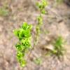 Листовые розочки - Весна в Балашихе - Волошины.РФ